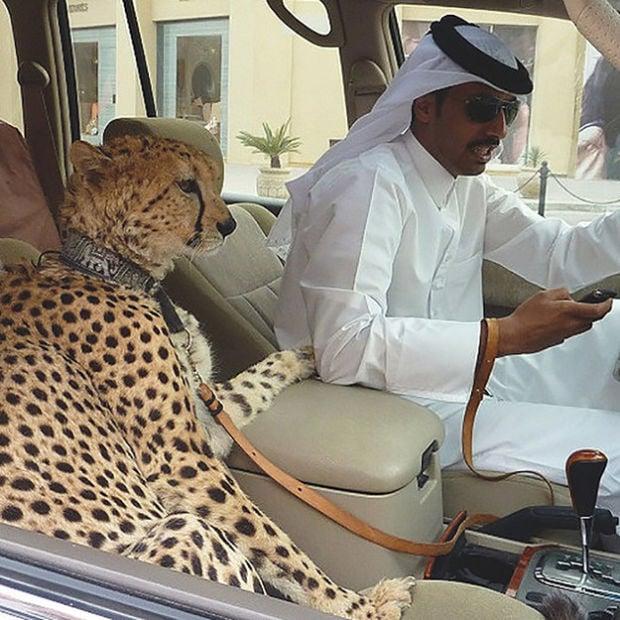mascota dubai guepardo en carro