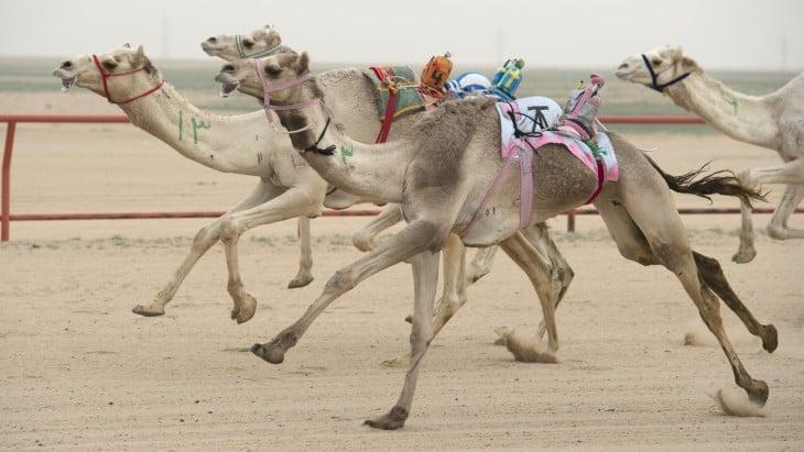 carrera de camellos dubai controlados por robots