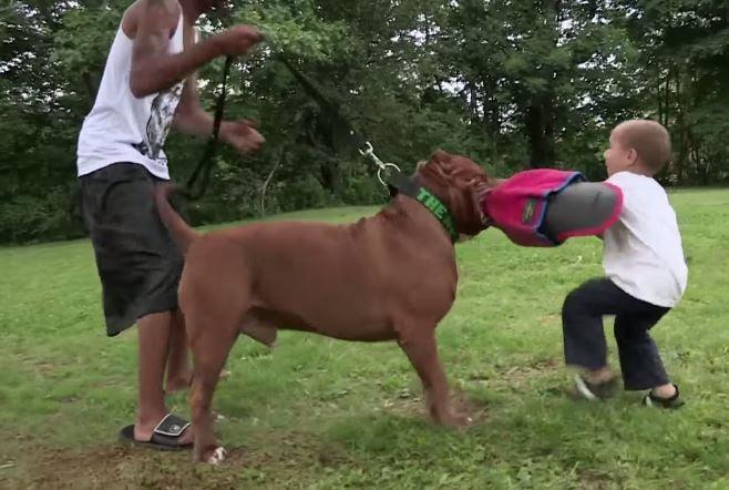 hulk pitbull mordiendo con niño de 3 años
