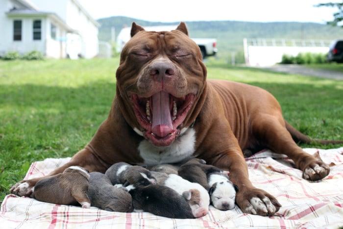 cachorros del pitbul mas grande del mundo