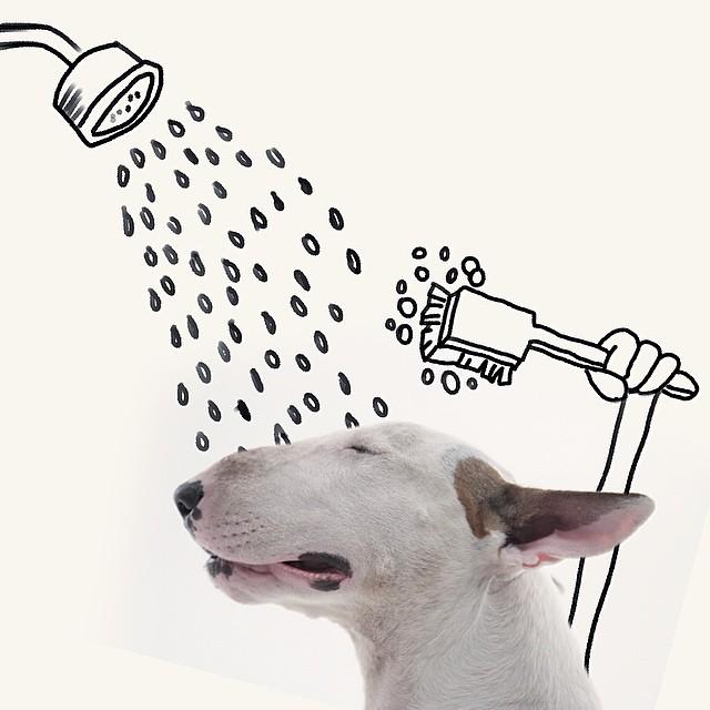 bull terrier jimmy choo bañandose