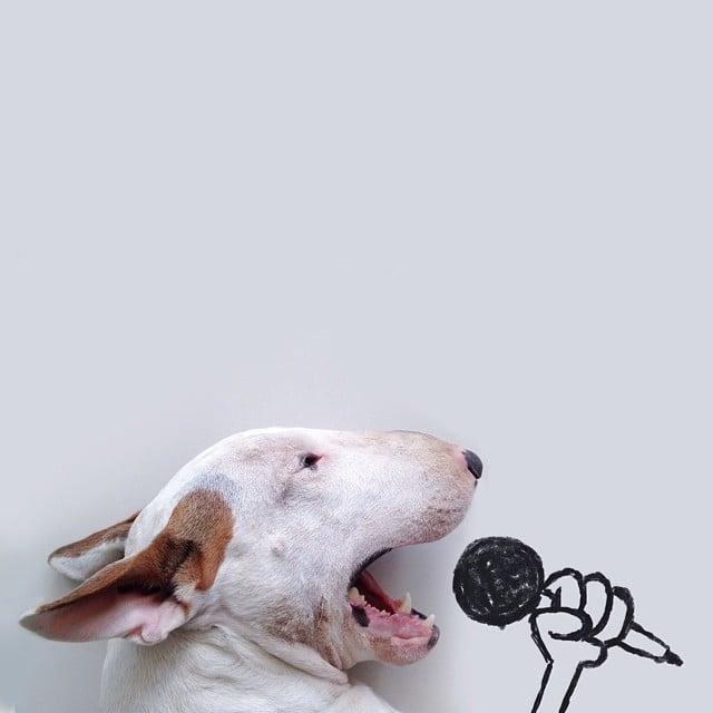 bull terrier jimmy choo cantando microfono