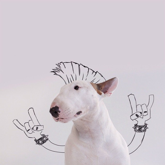 bull terrier jimmy choo punk mohawk