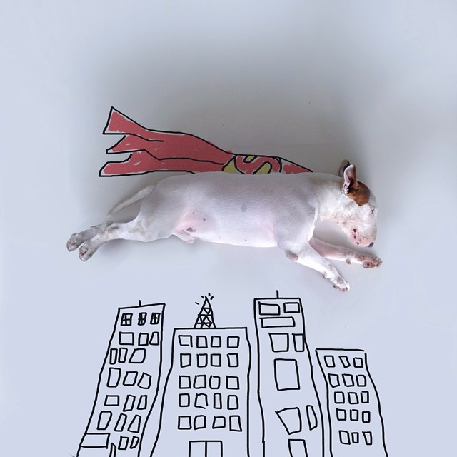bull terrier jimmy choo superman acostado