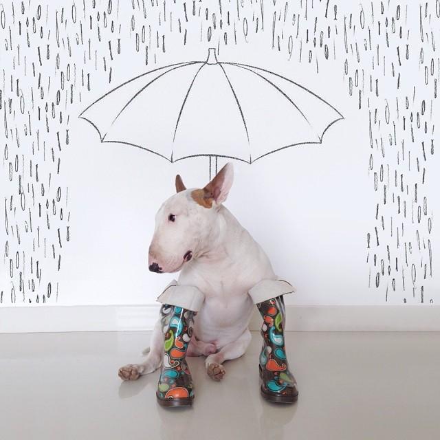 bull terrier jimmy choo con botas para lluvia y paraguas
