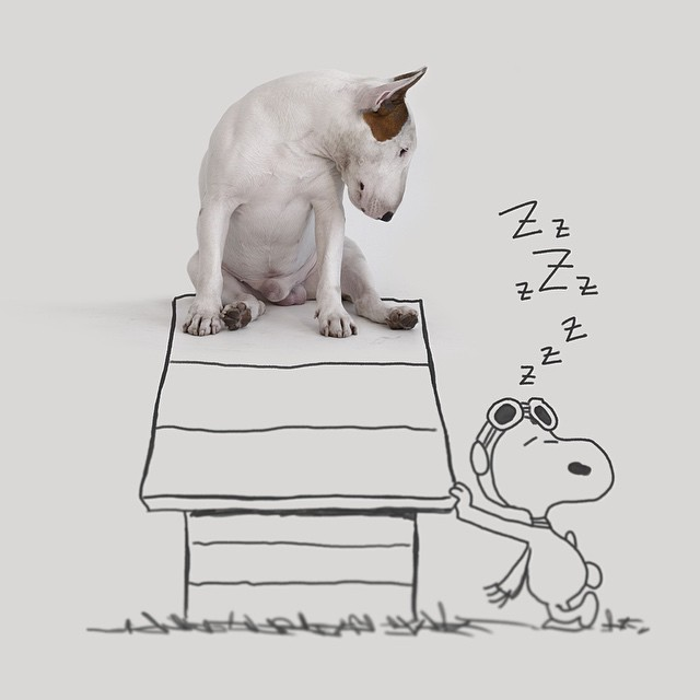 bull terrier jimmy choo sentado en casa de snoopy