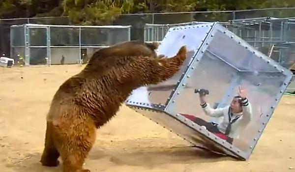 oso grizzly y mujer grabando dentro caja de plastico