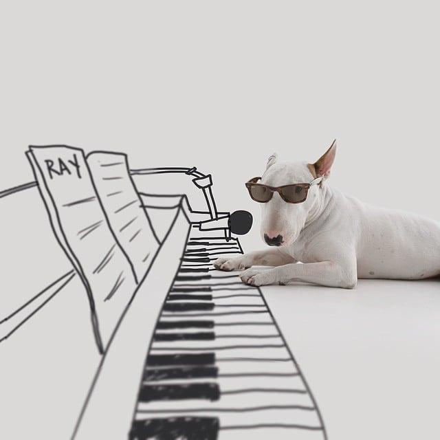 bull terrier jimmy choo tocando el piano cantando y con lentes