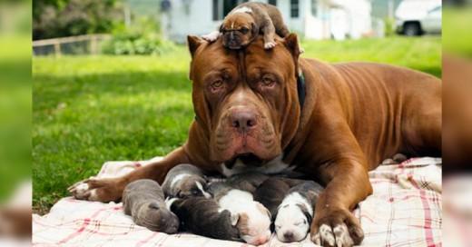 El pitbull más grande del mundo tuvo cachorros ¡Su camada vale 500 mil dólares!