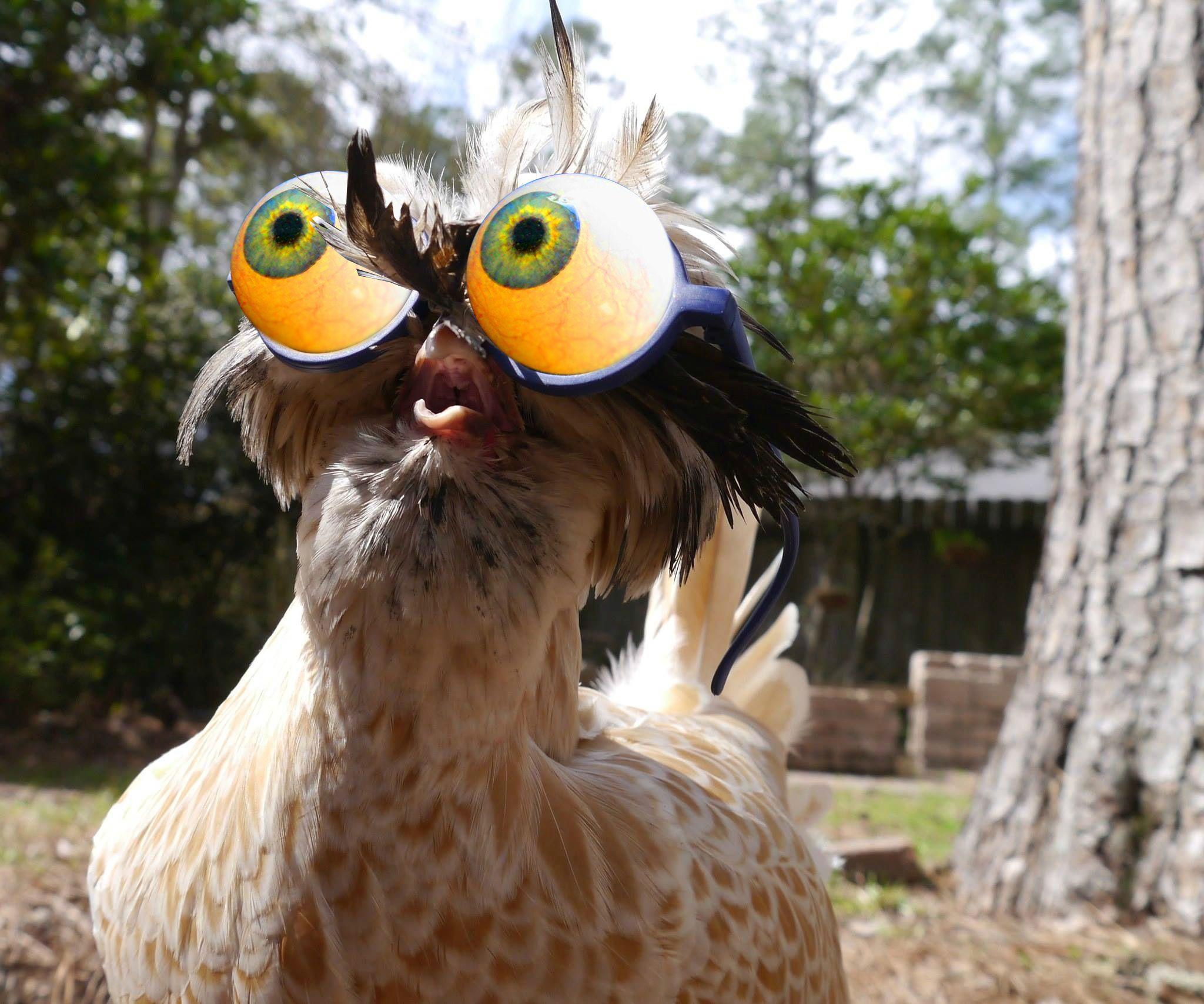 говорить фото курицы смешные все еще появляется