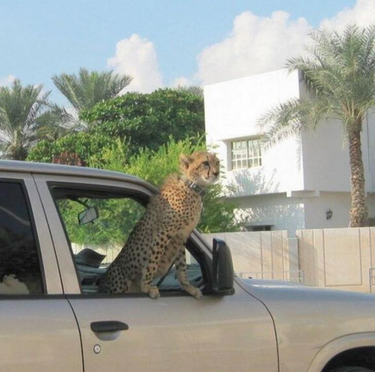 guepardo de narco en camioneta lujosa