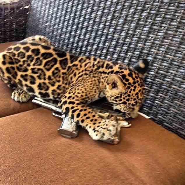 jaguar cachorro jugando con pistola