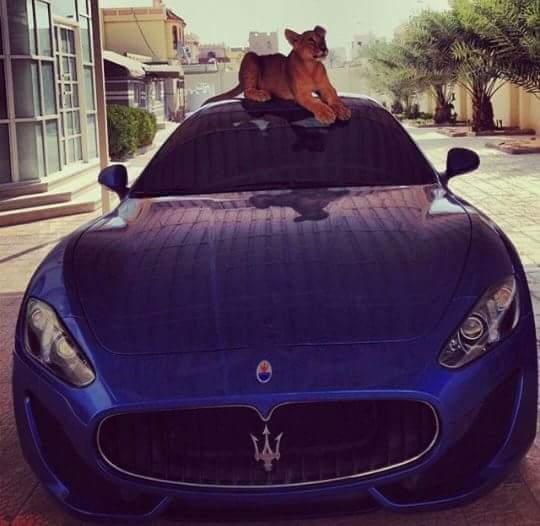 cachorro de leon en maserati de narcojunior