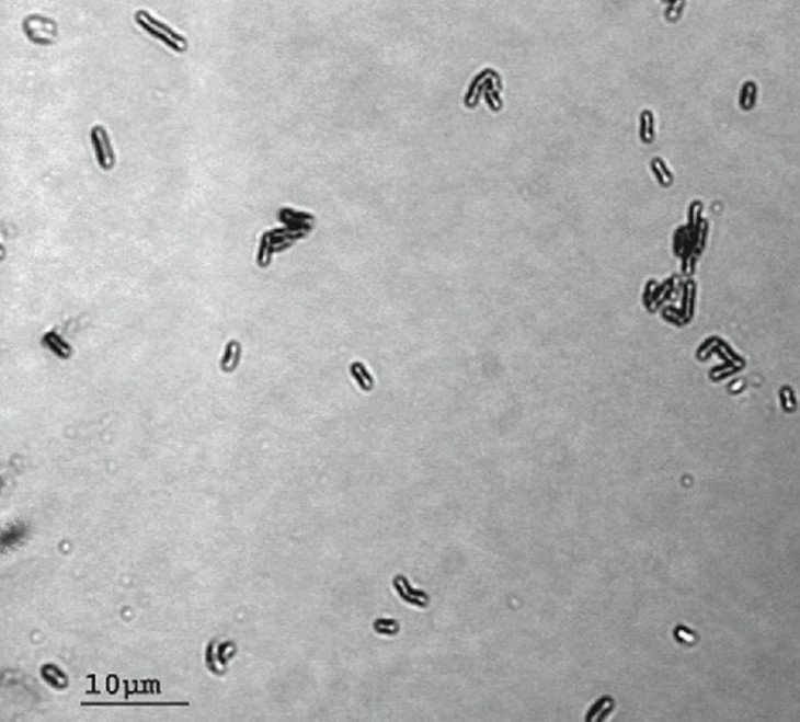 Bacillus F