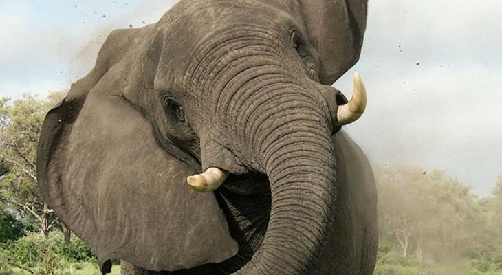 Elefante enojado
