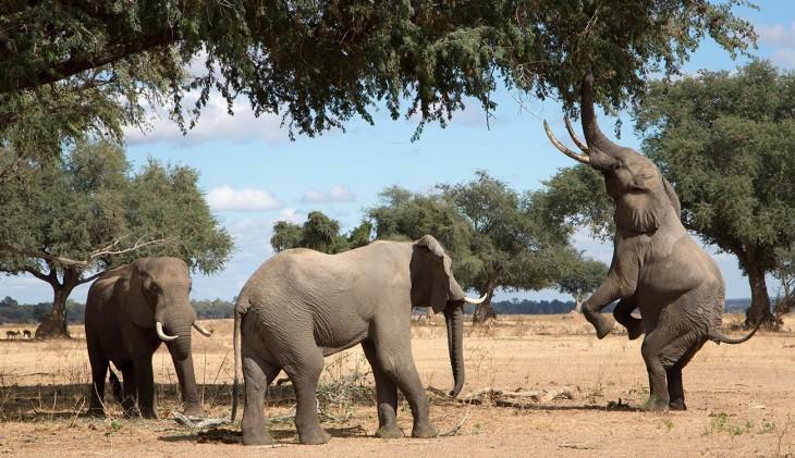 Elefantes descansando