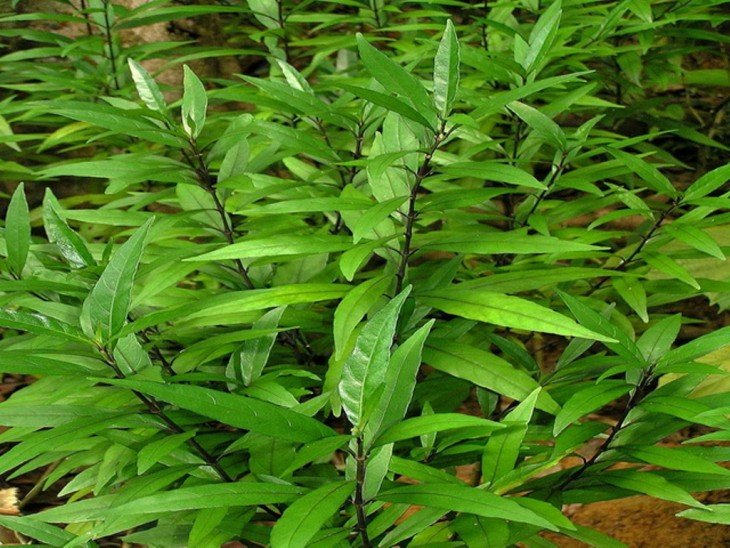 Justica Gendarussa planta de Indonesia