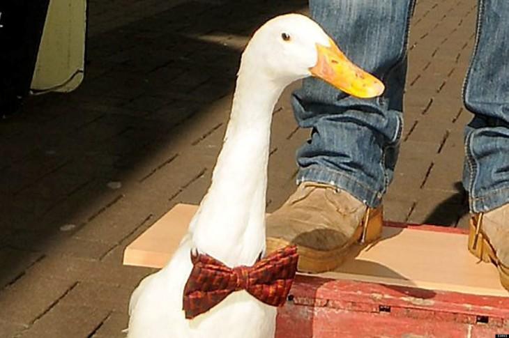 Pato con moño en la calle