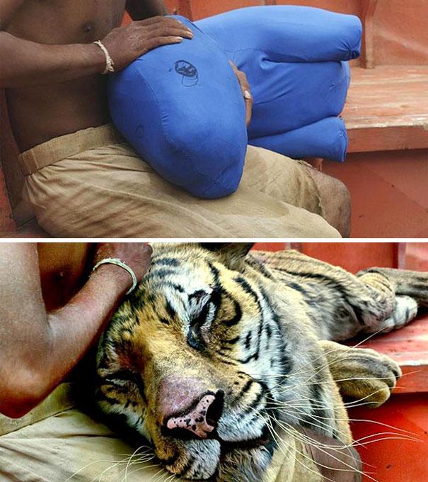 hombre acaricia a tigre en balsa