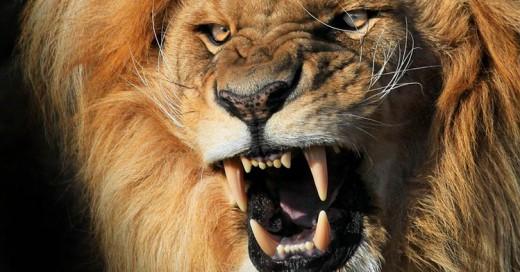 Cazador es devorado por León que intentaba cazar