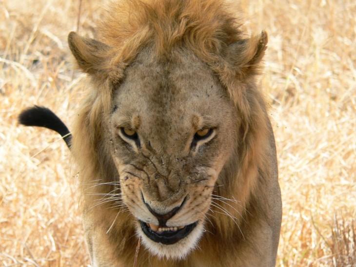 León gruñendo