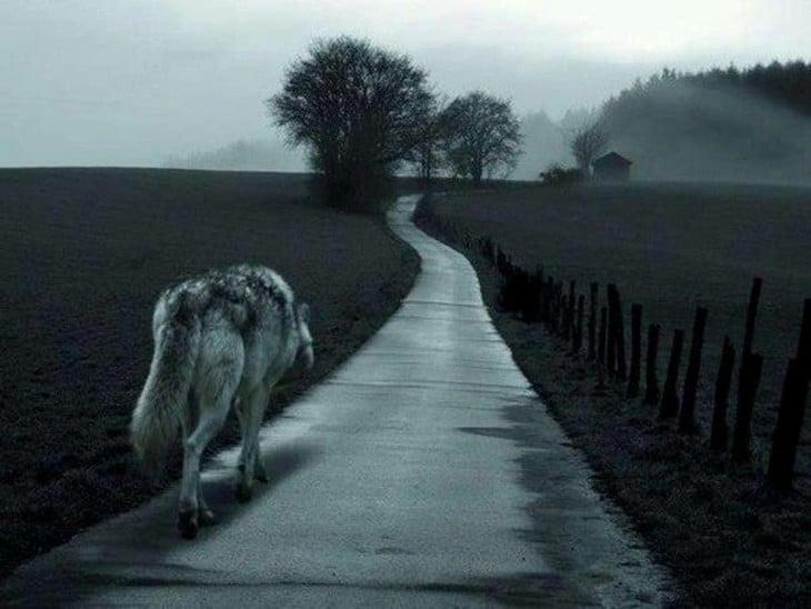 Lobo solitario sigue el camino