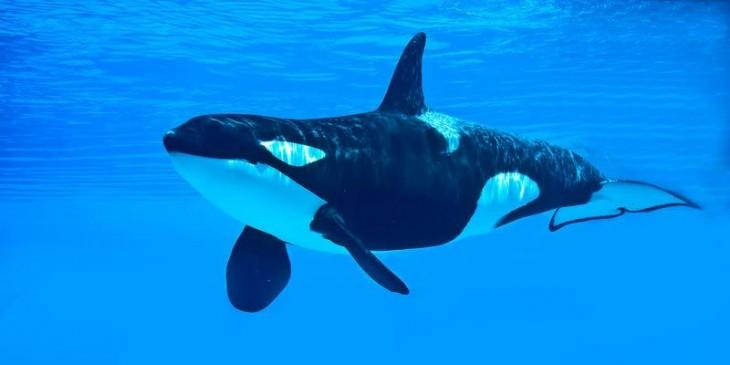 Orca en el océano