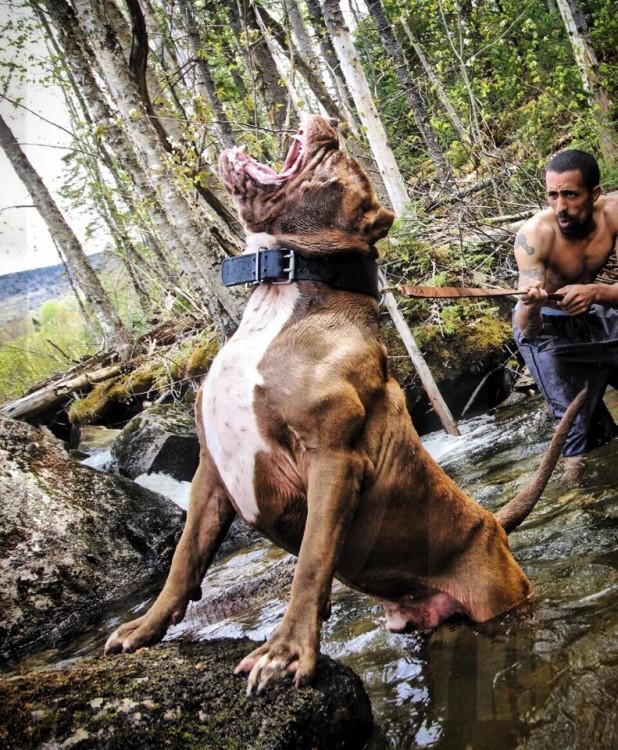 Pitbull gigante simula un oso