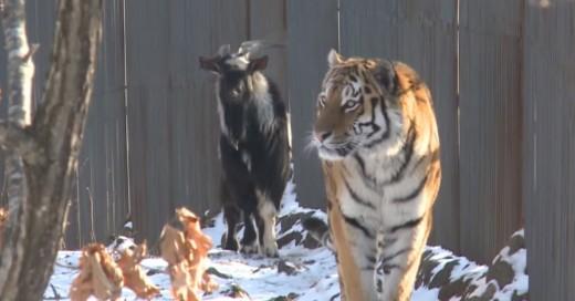 Esta valiente cabra pasó de ser el alimento de un tigre a su compañera de jaula
