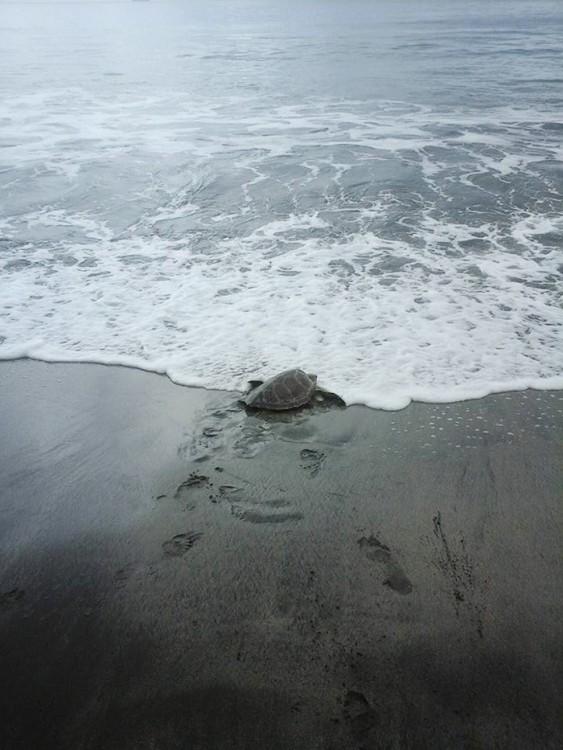 tortuga regresa al mar