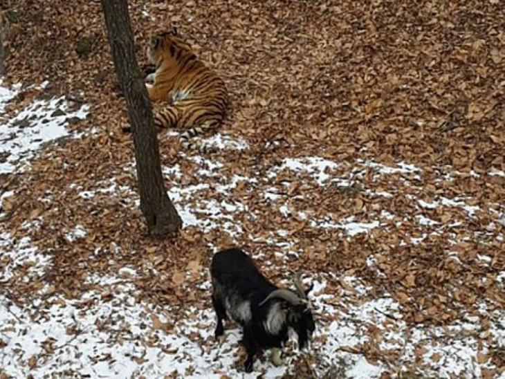 Tigre y cabra conviven en la misma jaula
