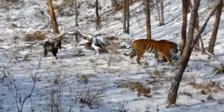 Tigre y cabra juntos en una jaula