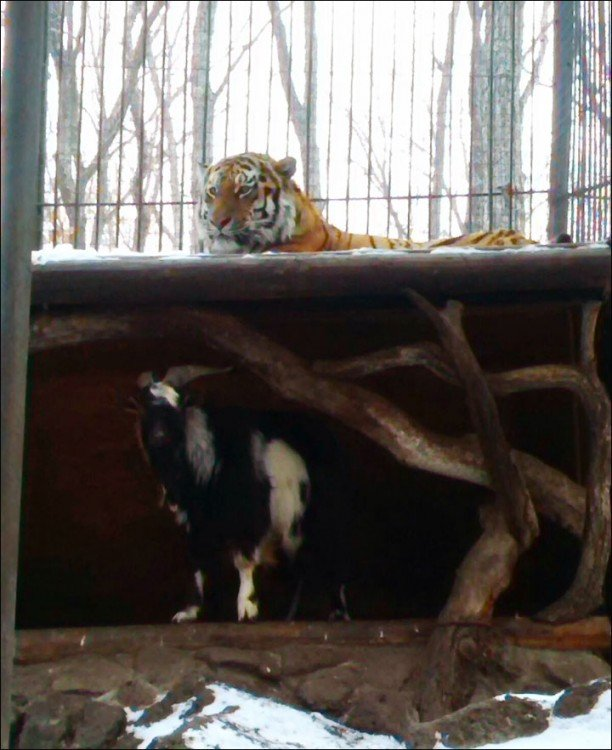 Tigre en el techo, mientras cabra ocupa su cama
