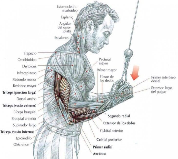 Esquema de los tríceps al hacer ejercicio