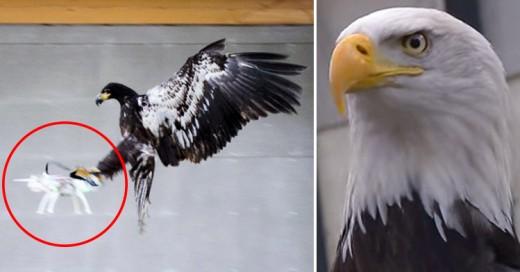 Cover-Policía-holandesa-entrena-águilas-para-derribar-drones