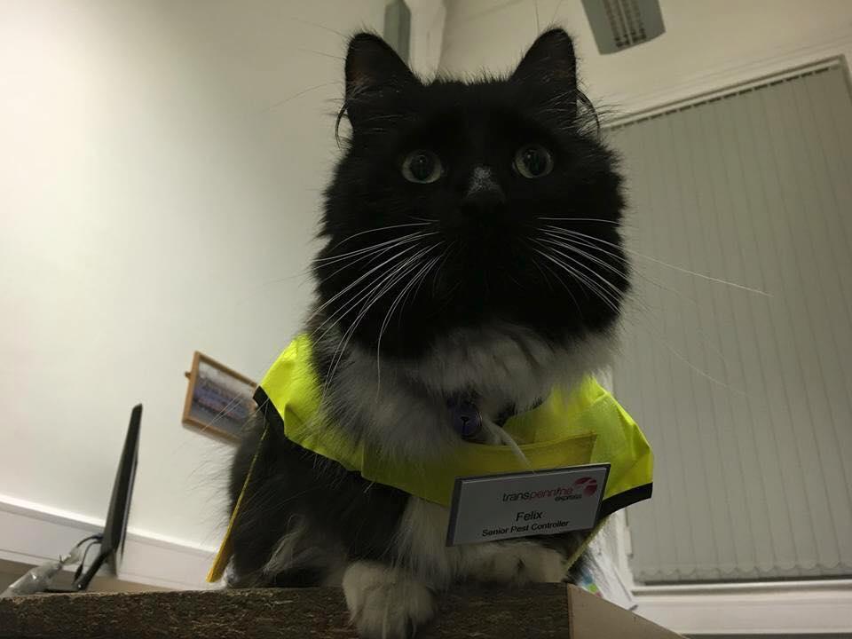 F lix el gato fue ascendido en su trabajo como atraparratones - Como atrapar ratones ...