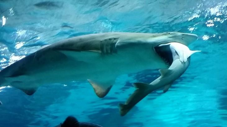 Tiburón come a otro tiburón
