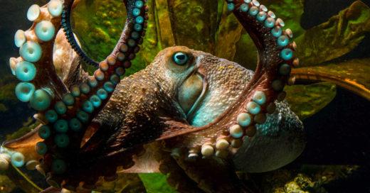 Él es Inky, el pulpo rebelde que escapó del acuario ¡y regresó al Océano!