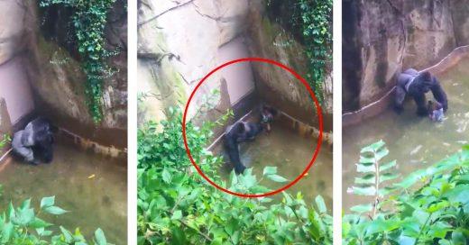 Nuevo video demuestra que el gorila tenía de la mano al niño; ¿Lo estaba protegiendo?
