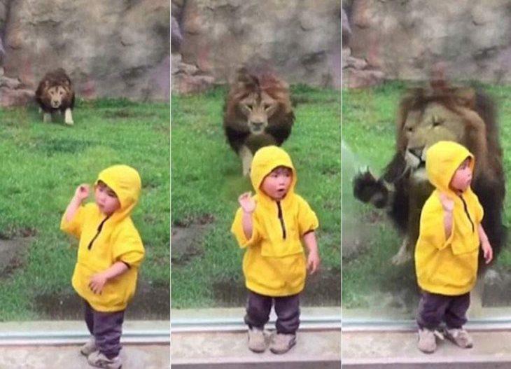 león ataca a niño