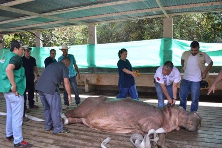 vasectomía hipopótamo