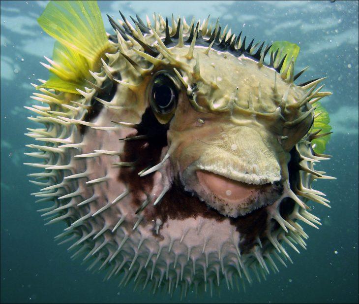 El pez globo es mortal