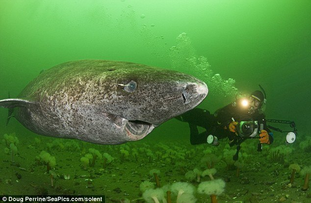 tiburon groenlandia