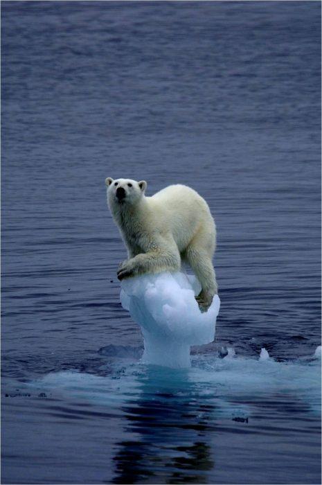 Oso polar se queda sin casa