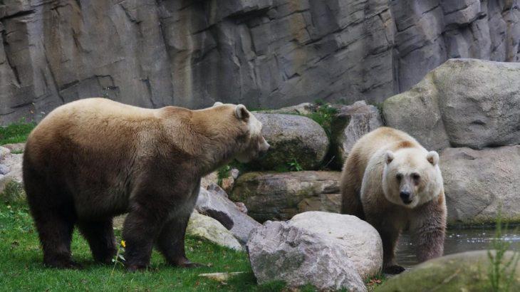 Pizzlies, raza híbrida de osos