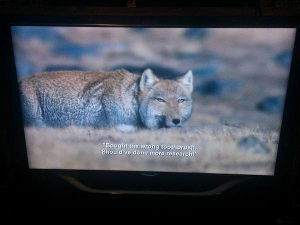 coyote bbc