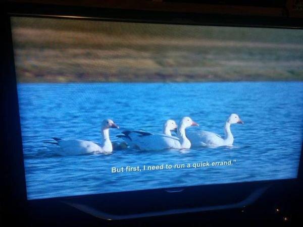 patos bbc nadando