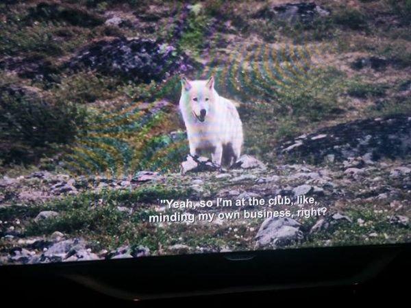 lobo en bbc