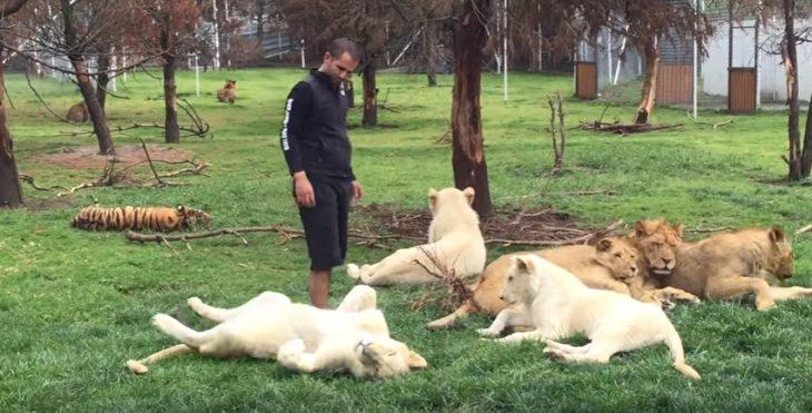 Entrenador entre felinos