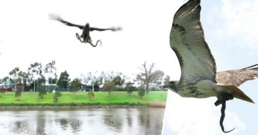 COVER halcon lanza una vibora en picnic